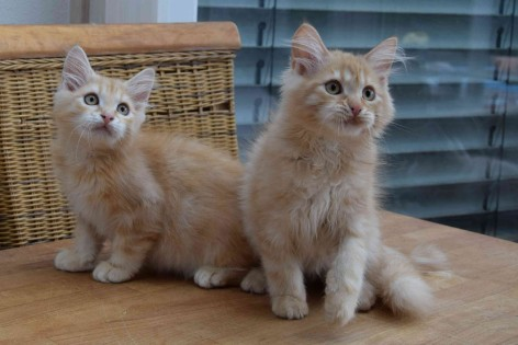 2 kittens male and female; colour red silver tabby blotched